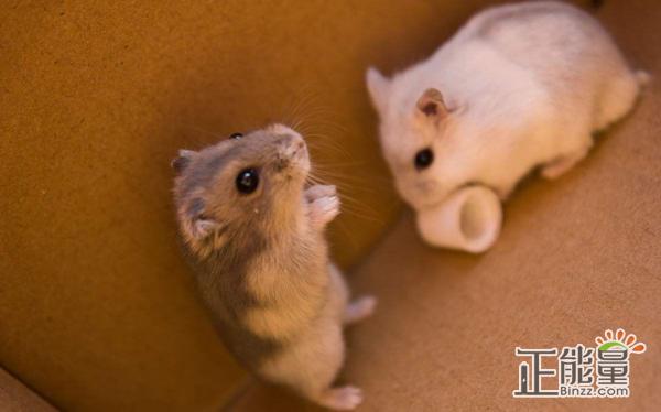 记叙文500字:贪吃的小仓鼠
