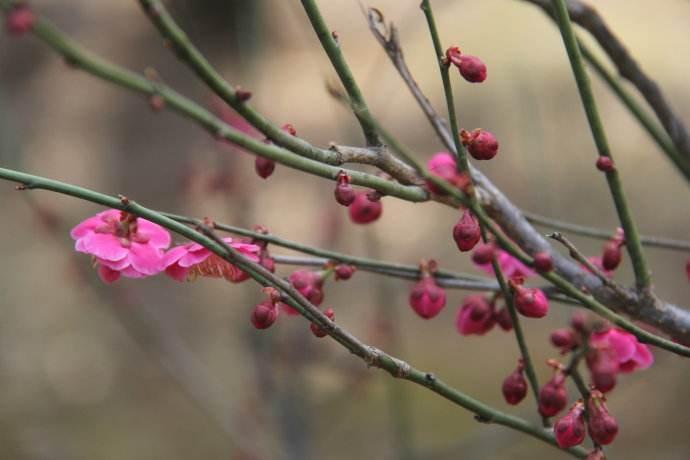 关于冬日的梅花散文
