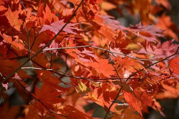 关于家乡红叶的情感散文