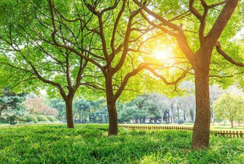 记忆中的香樟树散文欣赏