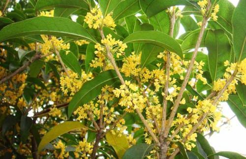 关于故乡的抒情散文:屋后的桂花树