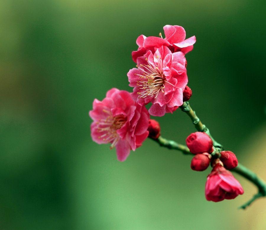 关于梅花的优美散文欣赏