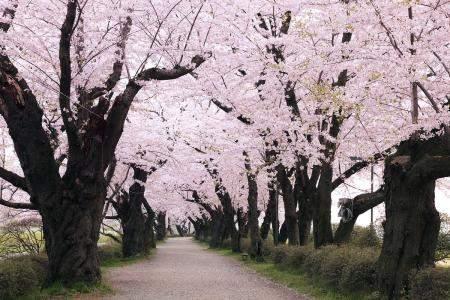 【描写樱花的句子有哪些关于描写樱花唯美的句子】描写樱花的句子有哪些?关于描写樱花唯美的句子