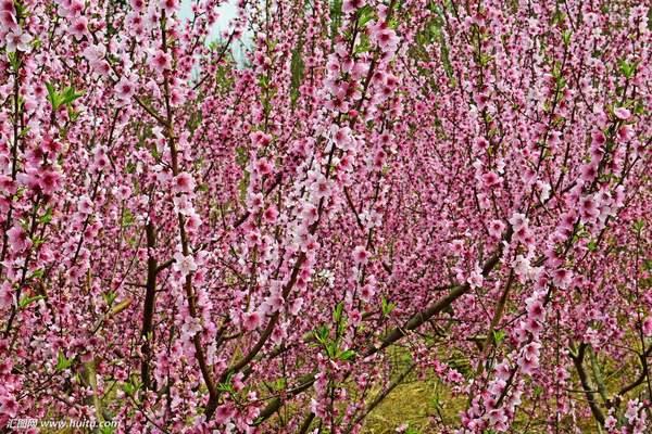 [满园春色关不住 一枝红杏出墙来]满园春色,清香溢远