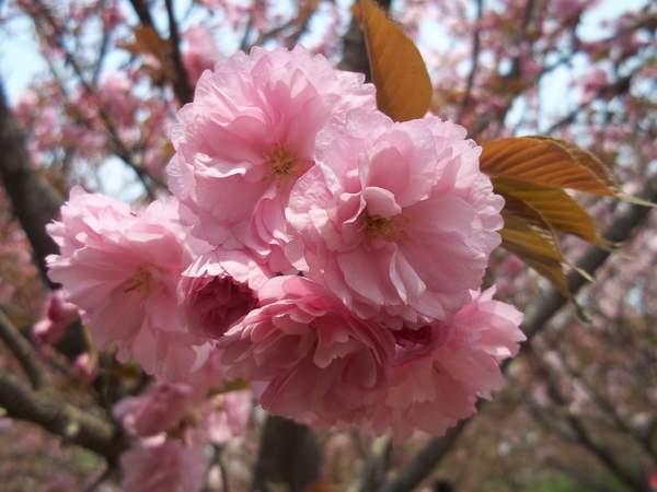 【漫步的意思】漫步十里樱花长廊