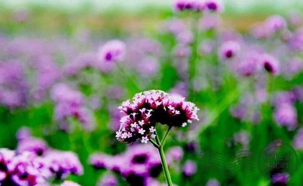 [如果花开可以带来幸福]花开一样的幸福
