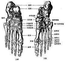 下肢骨中,足骨由()组成  A.跗骨、跖骨和趾骨  B.跟骨、跖骨和趾骨