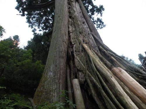 【问答】秃杉在哪个国家级自然保护区?