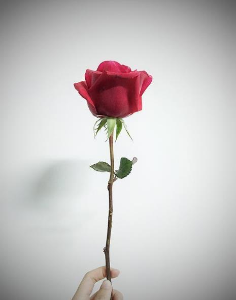 七夕送女朋友什么花?及其花语是什么?