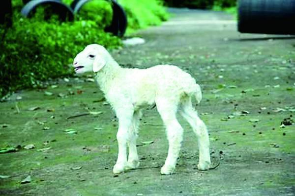 浅谈提高湖羊繁殖力的几点措施