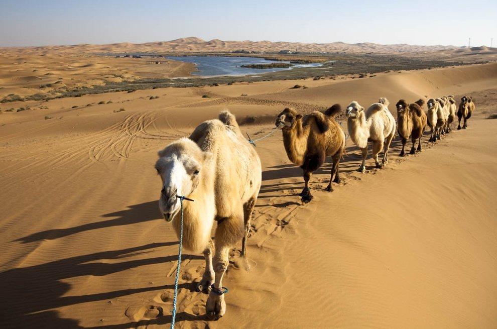 动物描写作文三篇:骆驼