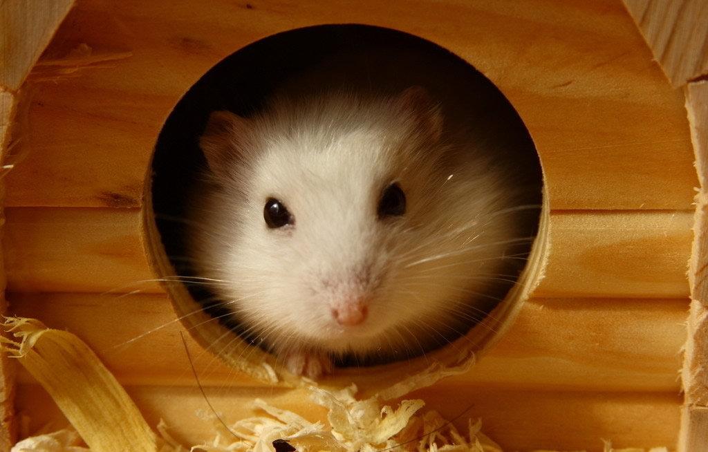 动物描写作文:淘气的小仓鼠