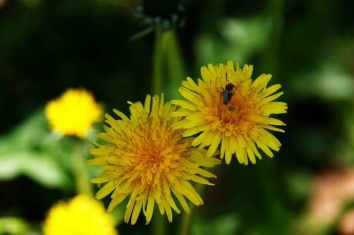每日儿童童话故事:爱美的小菊花
