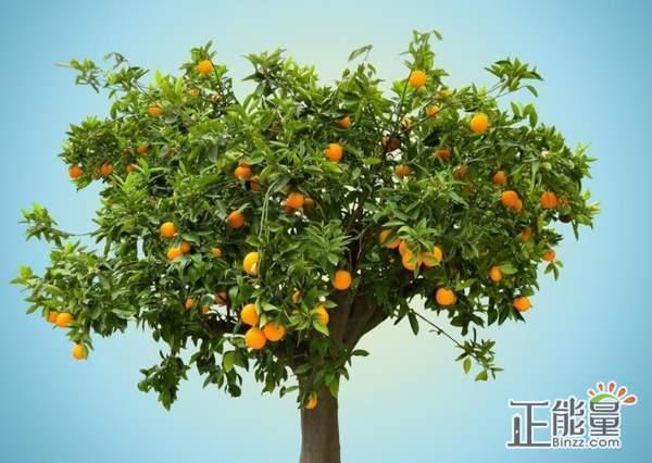 关于橘子树作文600字