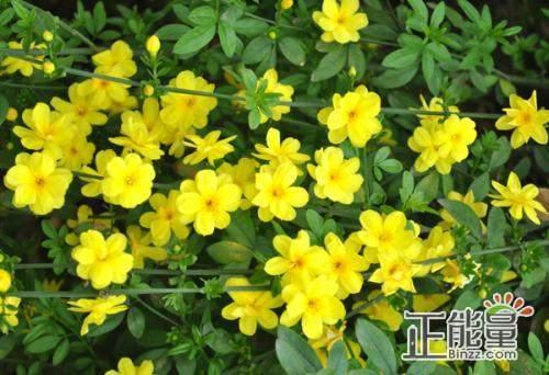 迎春花儿向阳开美文散文